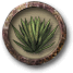 Raccogliere agave.png
